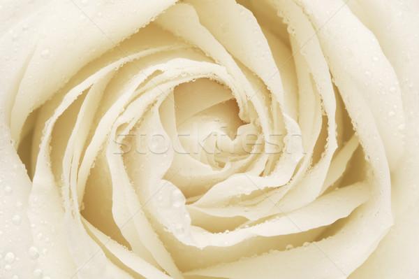 Blanco aumentó flor pétalos crema Foto stock © PetrMalyshev