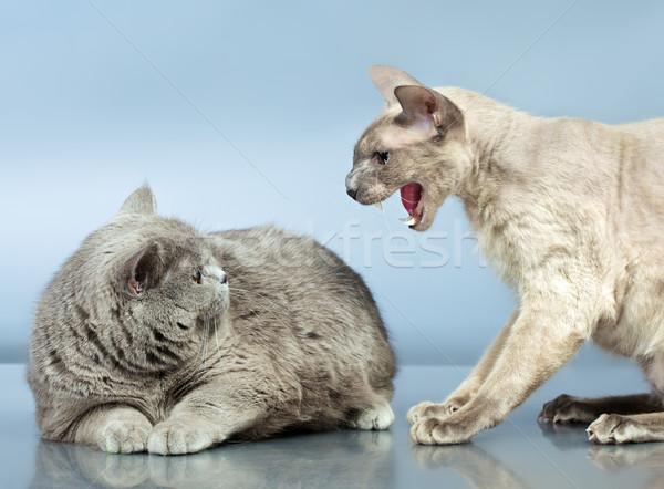 Twee katten boos Blauw brits korthaar Stockfoto © PetrMalyshev