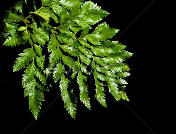 fern leave with water drops  Stock photo © PetrMalyshev