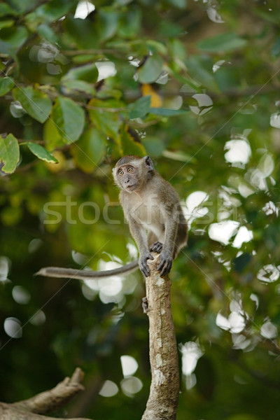 Jumping Macaque Monkey Stock photo © PetrMalyshev