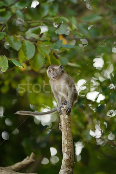 Jumping Macaque Monkey Stock photo © PetrMalyshev