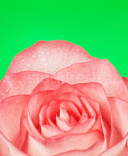 Розовые розы свежие цветок зеленый воды весны Сток-фото © PetrMalyshev