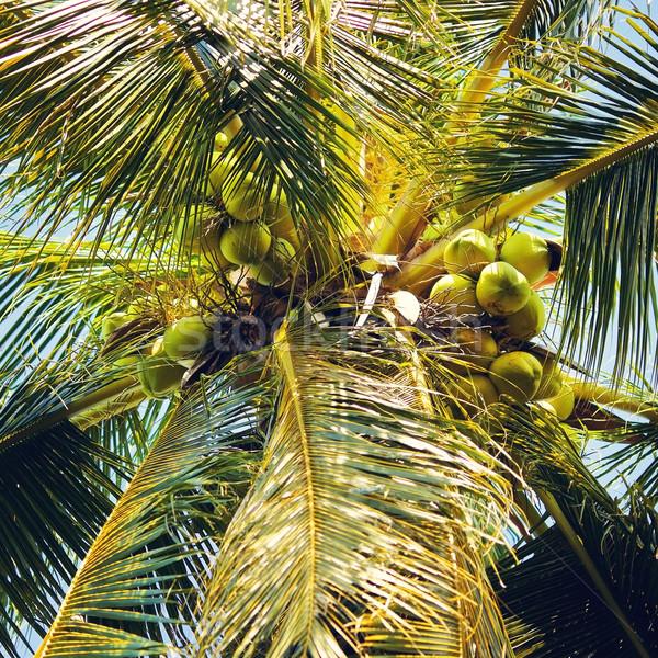 Kókuszpálma pálma zöld kókuszdió Thaiföld alulról fotózva Stock fotó © PetrMalyshev