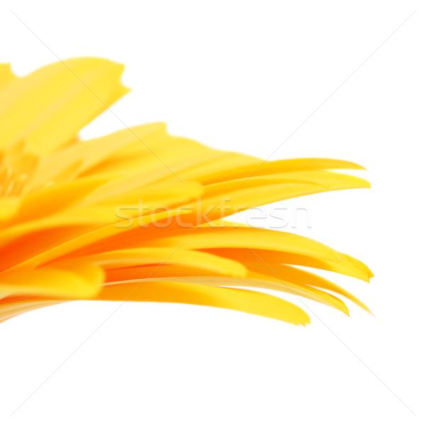 Foto stock: Amarelo · flor · pétalas · belo · isolado · branco