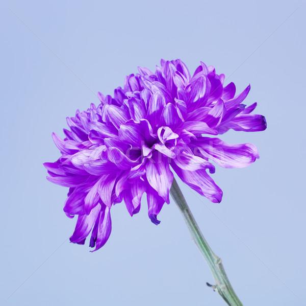 Violet chrysant bloem vers Blauw liefde Stockfoto © PetrMalyshev