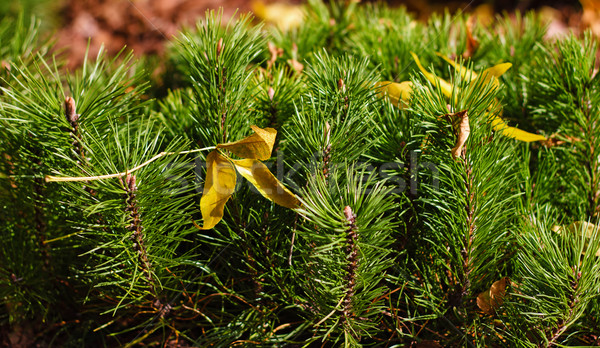 shoots mountain spruce Stock photo © PetrMalyshev
