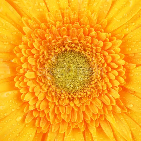 Foto stock: Amarelo · flor · belo · pétalas · macro · tiro