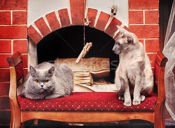 2 猫 青 英国の ショートヘア 猫 ストックフォト © PetrMalyshev