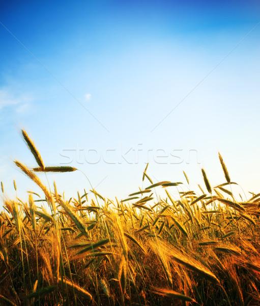 Ciel bleu coucher du soleil fleur herbe nature Photo stock © PetrMalyshev