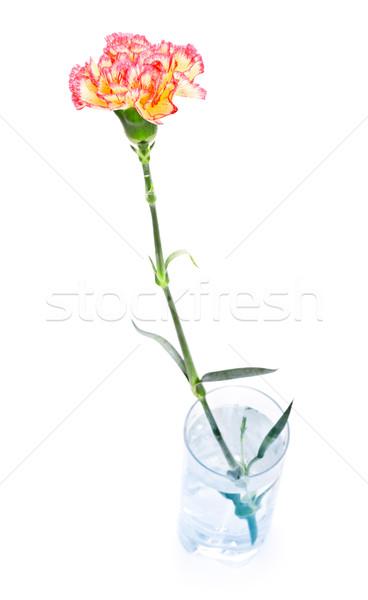 Nelke Glas isoliert weiß Wasser Liebe Stock foto © PetrMalyshev
