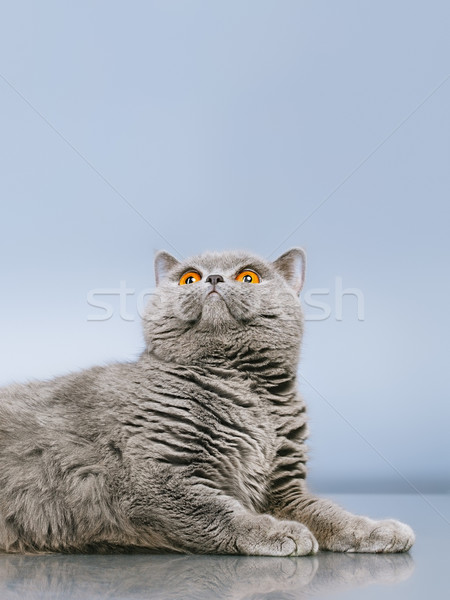 英国の ショートヘア 猫 青 グレー 顔 ストックフォト © PetrMalyshev