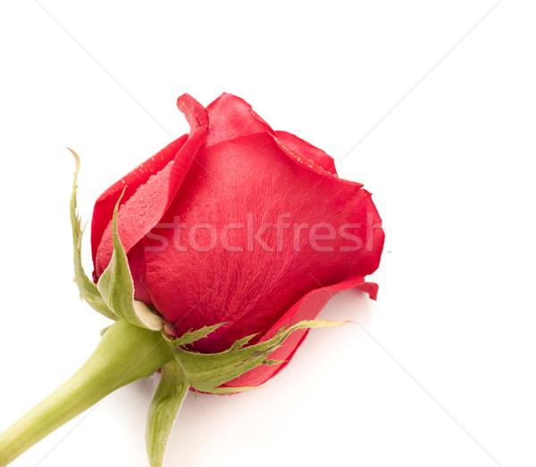 Red Rose Bud Stock photo © PetrMalyshev