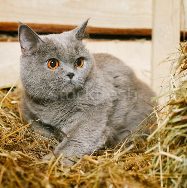 英国の ショートヘア 猫 面白い 青 顔 ストックフォト © PetrMalyshev