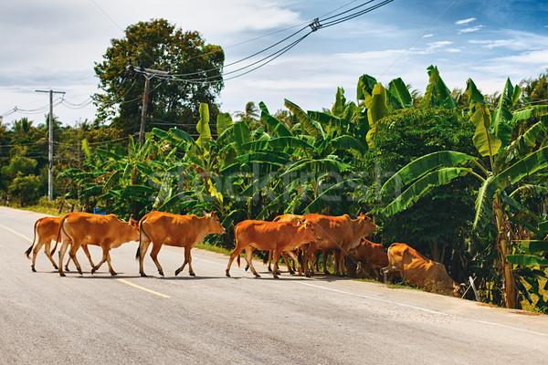Cows Cross the Road Stock photo © PetrMalyshev