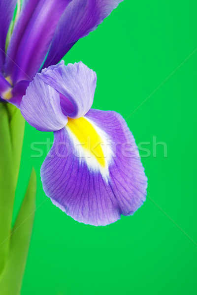 Blue Iris Flower Petal Stock photo © PetrMalyshev