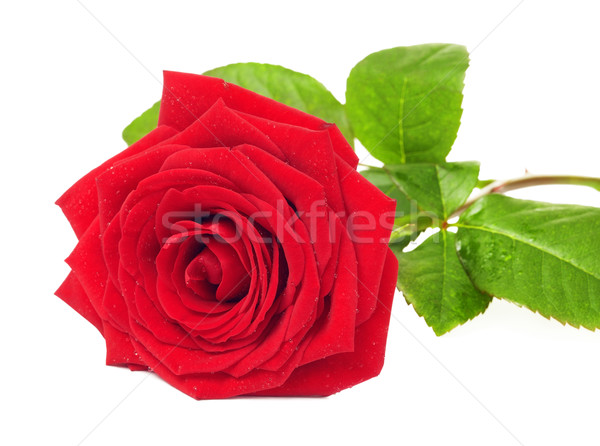 красную розу цветок изолированный белый любви закрывается Сток-фото © PetrMalyshev