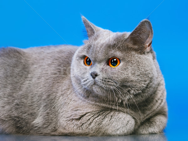 英国の ショートヘア 猫 青 顔 背景 ストックフォト © PetrMalyshev
