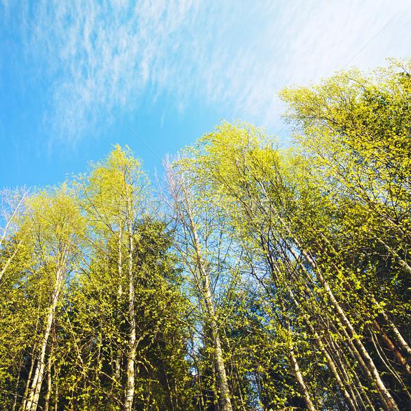 Nyírfa erdő kék ég nyár égbolt tájkép Stock fotó © PetrMalyshev