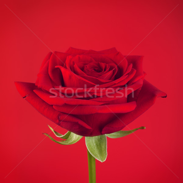 Red Rose Flower Stock photo © PetrMalyshev
