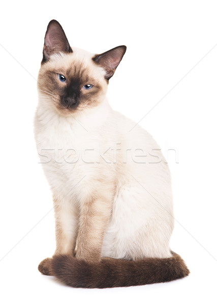 Thai Cat Portrait Stock photo © PetrMalyshev