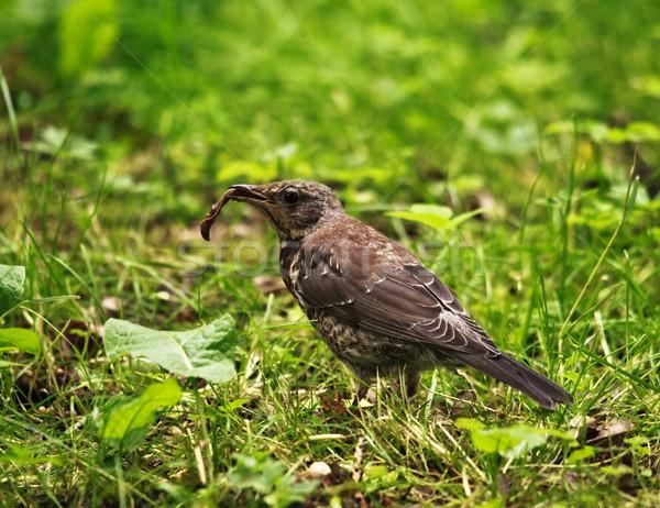 şarkı pamukçuk solucan çim gün Stok fotoğraf © PetrMalyshev