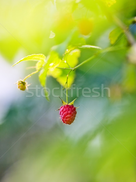 Ripe Raspberry Stock photo © PetrMalyshev