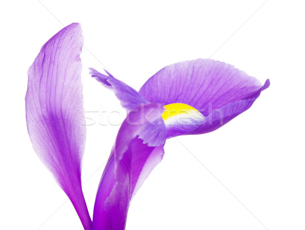 ストックフォト: バイオレット · アイリス · 花 · 花弁 · 美しい · 紫色の花