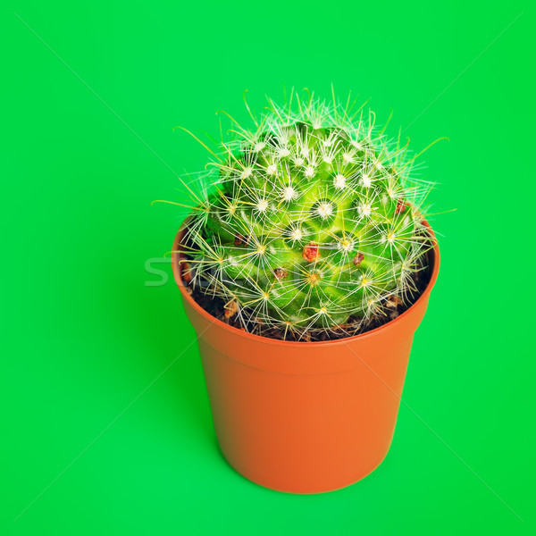 Potted Cactus Stock photo © PetrMalyshev