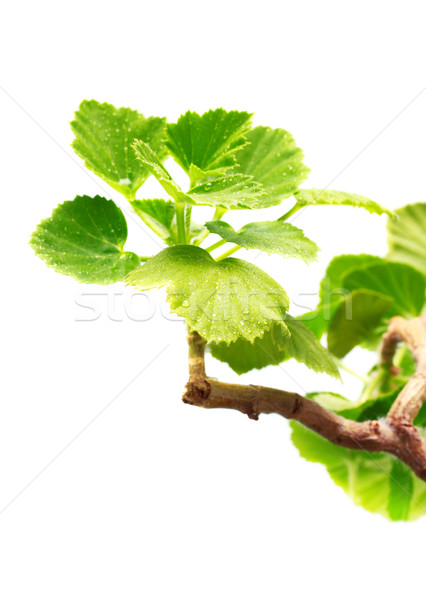Geranium Leaves Stock photo © PetrMalyshev
