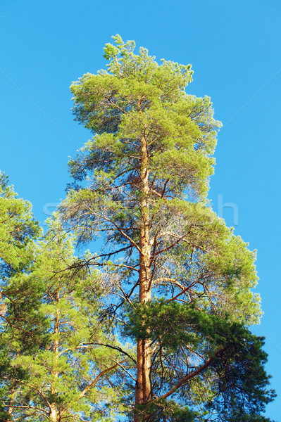Schönen Kiefer blauer Himmel Baum Frühling Wald Stock foto © PetrMalyshev