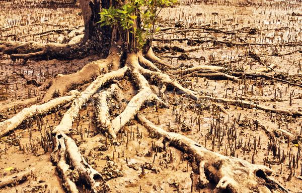 Thai Mangrove Swamp Stock photo © PetrMalyshev