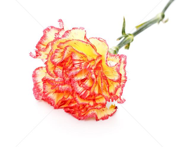 Rosa gelb Nelke isoliert weiß Blume Stock foto © PetrMalyshev