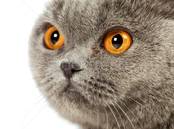 英国の ショートヘア 猫 青 肖像 ストックフォト © PetrMalyshev