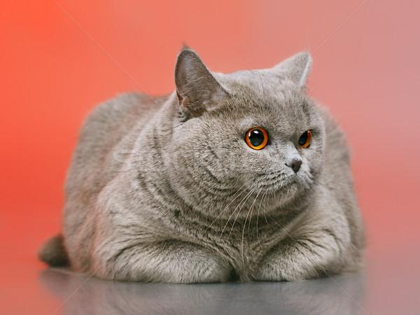 英国の ショートヘア 猫 青 赤 顔 ストックフォト © PetrMalyshev