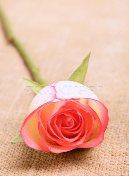 Розовые розы цветок холст таблице весны лист Сток-фото © PetrMalyshev