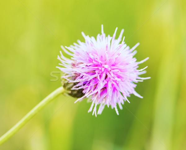 Thistle Flower Stock photo © PetrMalyshev