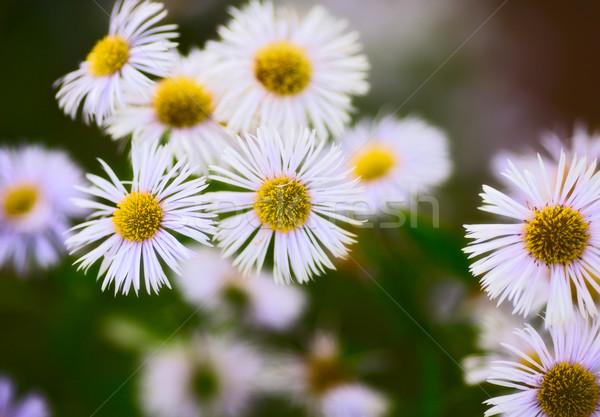 çiçekler bahçe yaz alan papatya bitki Stok fotoğraf © PetrMalyshev
