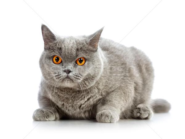 ストックフォト: 英国の · ショートヘア · 猫 · 青 · 孤立した · 白