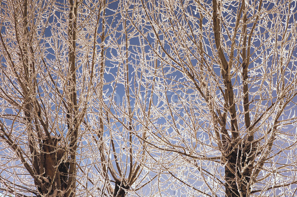 Branches Of Tree In Hoarfrost Stock photo © PetrMalyshev