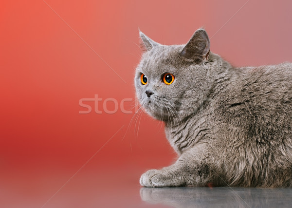 British Shorthair Cat Stock photo © PetrMalyshev