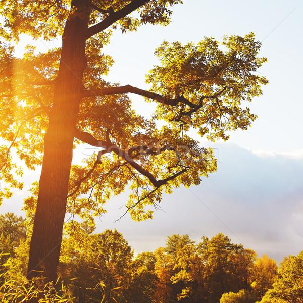 Autumn Oak Stock photo © PetrMalyshev