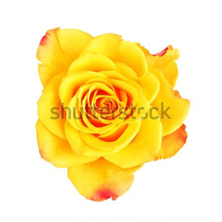 Jaune rose fleur isolé blanche haut Photo stock © PetrMalyshev