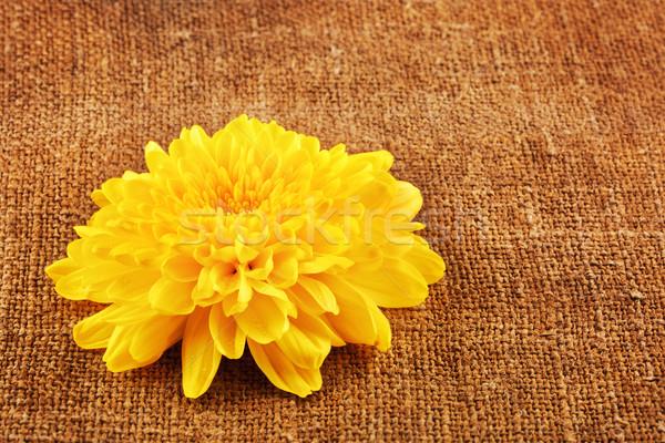 Gelb Chrysantheme Blume frischen Herbst Leinwand Stock foto © PetrMalyshev