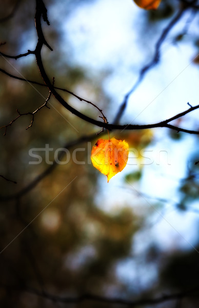 lonely autumn leaf Stock photo © PetrMalyshev