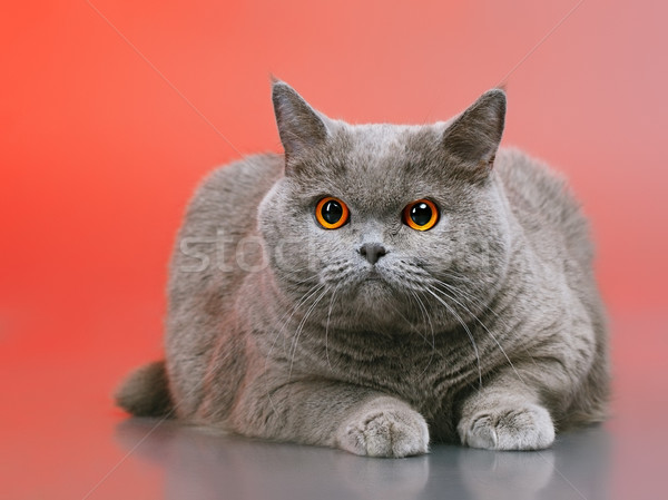 ストックフォト: 英国の · ショートヘア · 猫 · 青 · 赤 · 顔