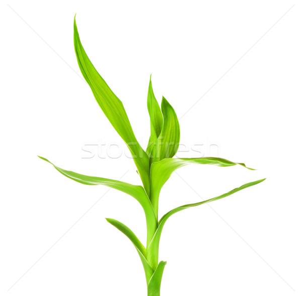 Green Bamboo Sprout Stock photo © PetrMalyshev