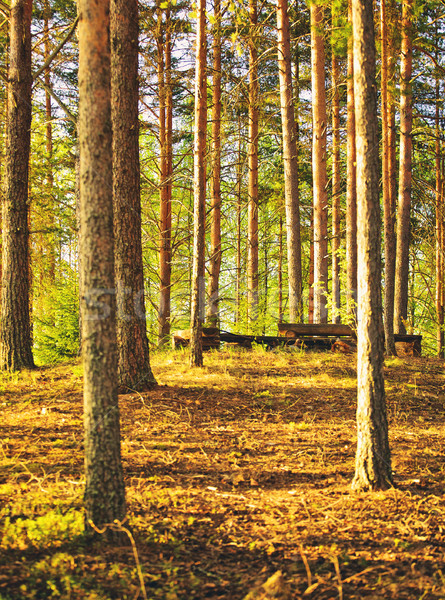 Pine Forest at Summer Stock photo © PetrMalyshev