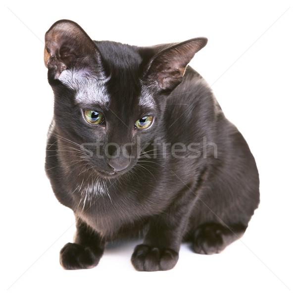 Stockfoto: Zwarte · korthaar · kat · geïsoleerd · witte