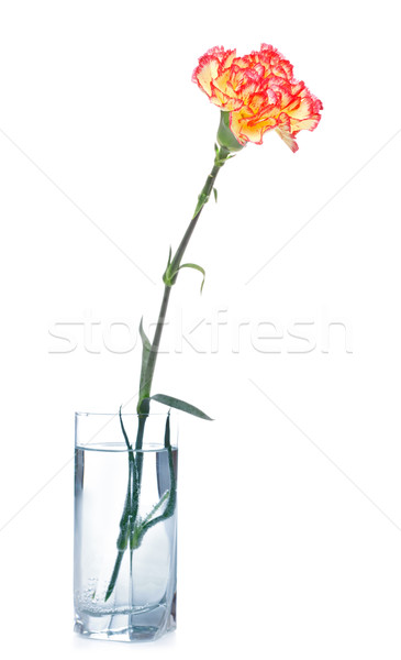 Clavel vidrio aislado blanco agua amor Foto stock © PetrMalyshev