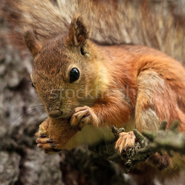Squirrel with Bread Crust Stock photo © PetrMalyshev